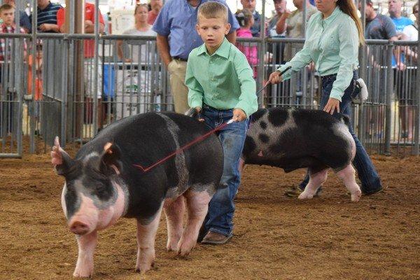 Brett Zeedyk, Hicksville, shows his hog in the Berkshire drive.