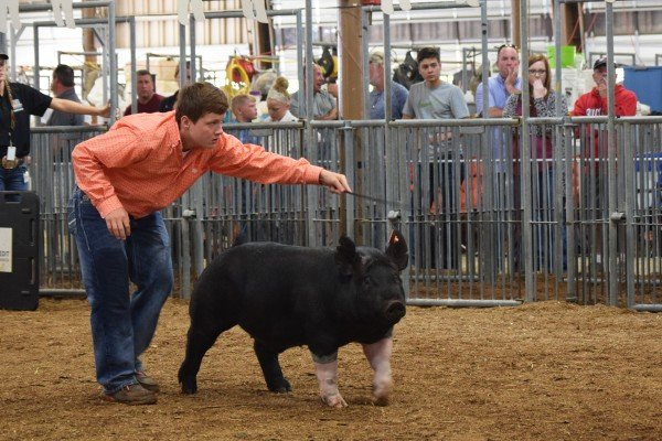 Austin Hunker, Bellevue, drives his hog to win Reserve Hampshire Barrow.