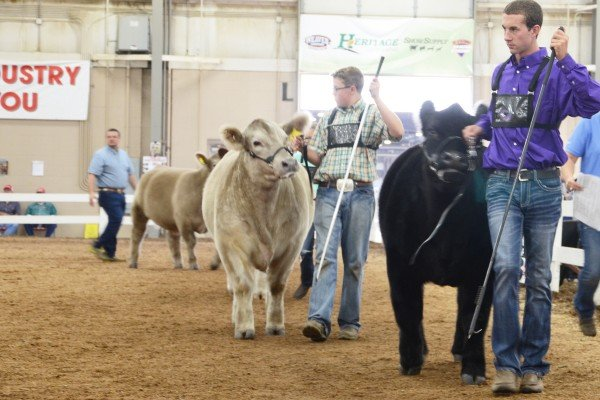 Cross bred steer exhibitors circle the ring.