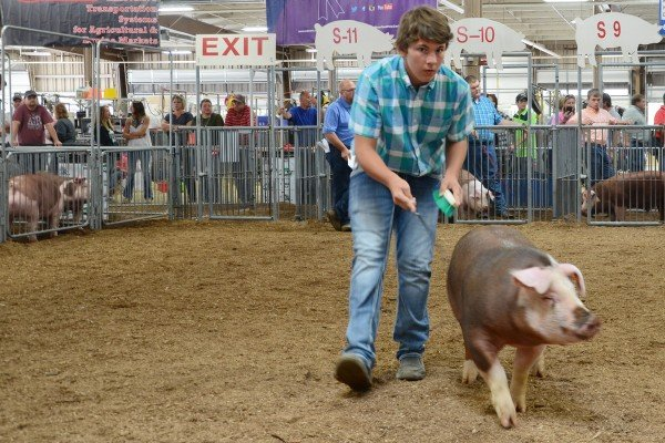 Evan Banister, Fulton Co., won his class with his Hereford barrow.