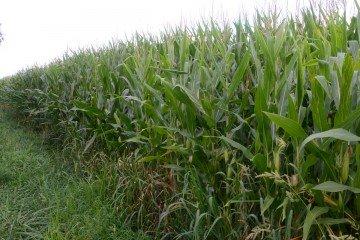 Greene Co. corn