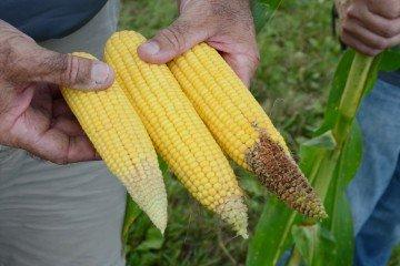 Hardin Co. corn