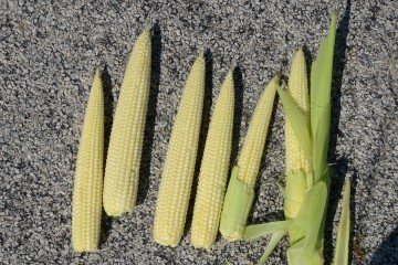 Henry Co. corn