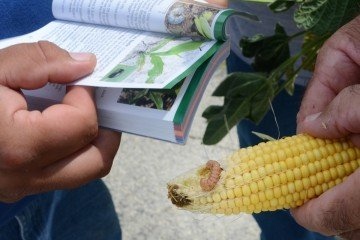 We found fall armyworm in the Mercer County corn