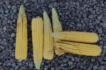Paulding Co. corn