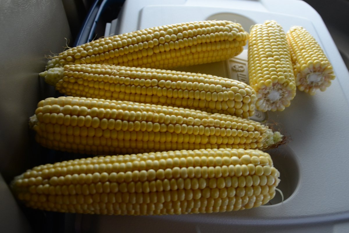 Shelby Co. corn