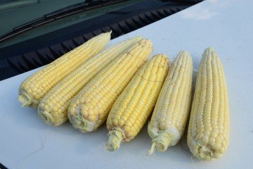 Van Wert Co. corn