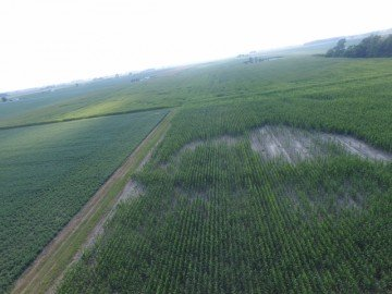 Wet conditions led to significant holes in this Van Wert Co. corn.