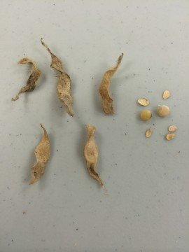 Pictured left is damage that was found by Seed Consultant's seedsmen in a central Ohio field,
