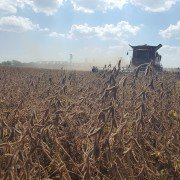 brown soybean harvest