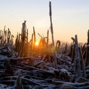 frost corn