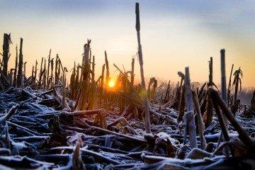 frosty corn