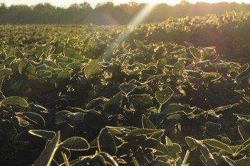 soybean-sunrise