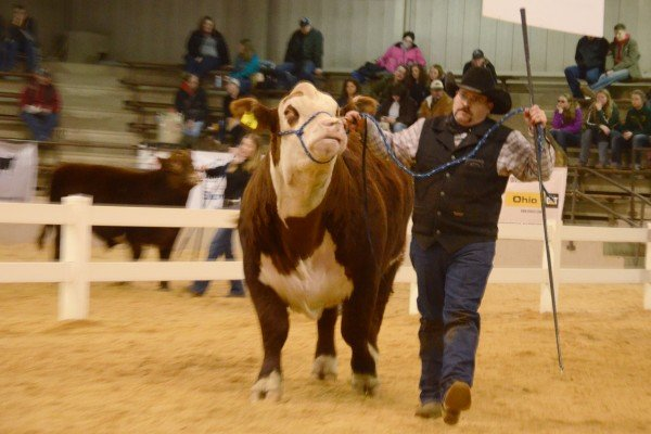 The Hereford Open Show featured some high quality bulls.