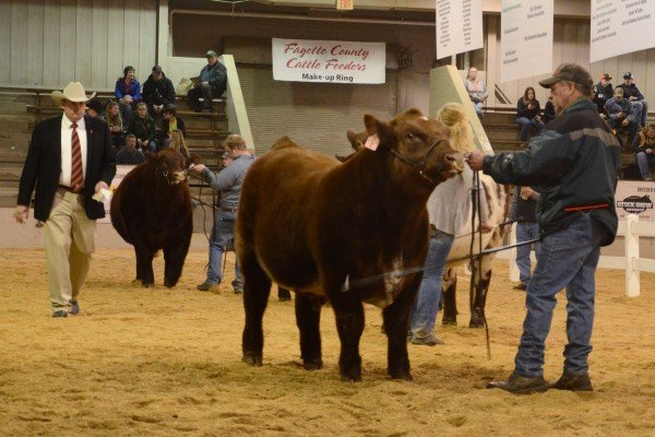Champion Shorthorn bull in the Open show