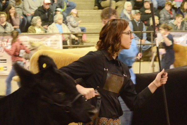 Hailee Carter, Holmes County, had the champion MainTainer Heifer