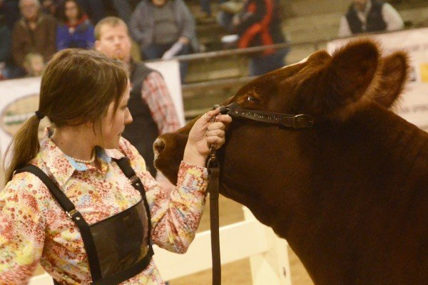Olivia Wood from Clinton County with her Champion Shorthorn heifer