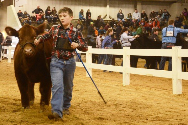 Branden Studenka, Fulton County won this class with his steer