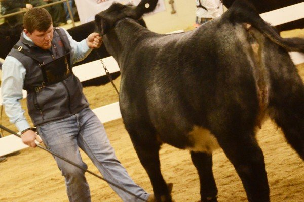 Erik Hanna, from Holmes County sets up his heifer