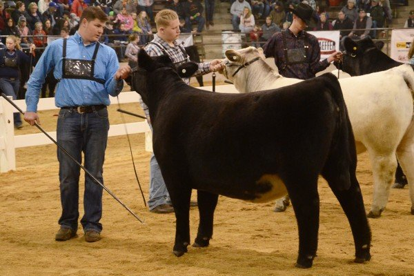 Tanner Cordes, Montgomery County with his Shorthorn Plus