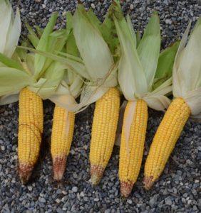 Auglaize Co. corn