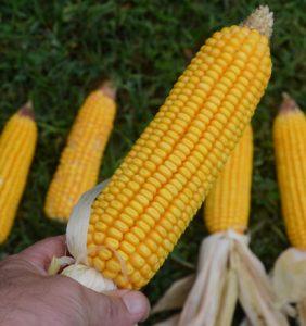 Butler Co. corn