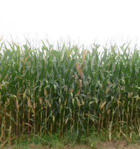Butler Co. corn field