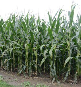 Darke Co. corn field