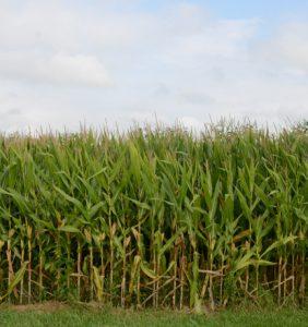 Montgomery Co. corn field