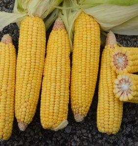 Shelby Co. corn
