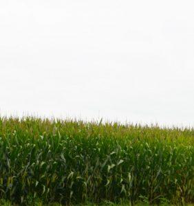 Shelby Co. corn field