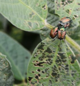 Shelby Co. soybeans with Japanese beetles