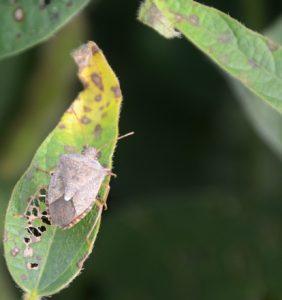 Warren Co. brown stink bug