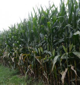 Warren Co. corn field
