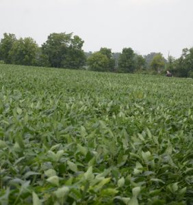 Williams Co. soybean field