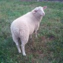 Saanen,Boer,Nubian..etc Dairy Goats & Sheep for Sale.